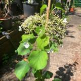 Hydrangea petiolaris 4ltr