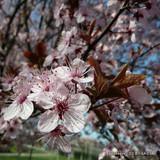 Prunus sargentii (Sargent's Cherry) - 200/250cm