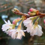 Prunus x subhirtella 'Autumnalis Rosea' (Winter-Flowering Cherry) - 175/200cm