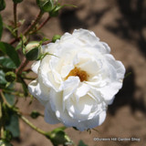 White Cloud - Climbing Rose