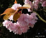 Prunus 'Beni Yutaka' -(Flowering Cherry) - 200/250cm