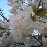 Prunus avium 'Flore Plena' (Flowering Cherry) - 200/250cm