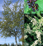 Prunus padus (Bird Cherry) 10-12ft