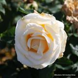 White Cockade - Climbing Rose