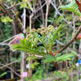 Sorbus commixta - 200/250cm