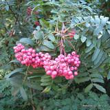 Sorbus hupehensis - 200/250cm