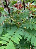 Sorbus cashmiriana 4-6ft