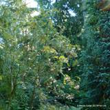 Sorbus cashmiriana - 150-175cm
