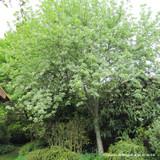 Sorbus aria 'Lutescens' (Whitebeam) - 150-175cm