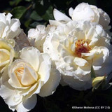 White Excelsa - Rambling Rose