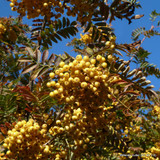 Sorbus 'Joseph Rock' 6-7ft