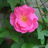 Zepherine Drouhin - Rambling Rose