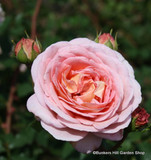 Abraham Derby - Shrub Rose