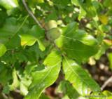 Quercus robur (English oak) - 175/200cm
