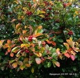 Crataegus prunifolia 6-7ft