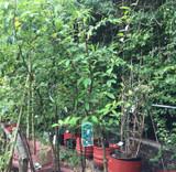 Cotoneaster watereri
