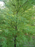 Taxodium distichum 175/200cm