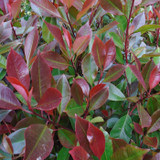 Photinia 'Red Robin' 3ft (potted)