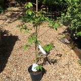 Acer griseum (Paperbark Maple) - 3ltr pot