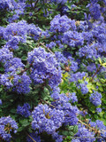 Ceanothus 'Autumnal Blue' - 2ltr pot