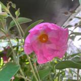 Cistus 'Silver Pink' - 3ltr pot