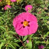 Cistus purpureus -  2ltr pot