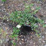 Cotoneaster dammeri -  2ltr pot