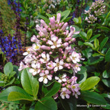 Escallonia 'Donard Seedling ' - 5ltr pot