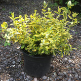 Euonymus 'Emerald & Gold' - 3ltr pot