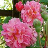 Cornelia - Hybrid Musk Shrub Rose