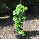 Hydrangea petiolaris - (Climbing Hydrangea) 3ltr pot