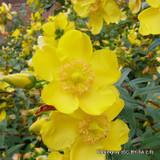 Hypericum patulum 'Hidcote' (St John's Wart) - 5ltr pot