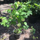 Viburnum opulus 'Roseum' -  3ltr pot