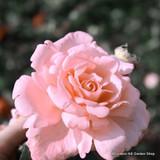 Felicia - Hybrid Musk Shrub Rose