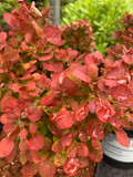 Berberis 'Lutin Rouge' - 3ltr pot