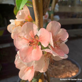 Chaenomeles speciosa 'Flocon Rose' (Japanese quince )