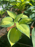 Hosta 'June' - 3ltr