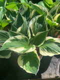 Hosta 'Patriot' - 3ltr pot