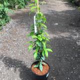 Trachelospermum jasminoides (Star Jasmine)-4ltr