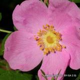 Frau Dagmar Hastrup - Rugosa rose