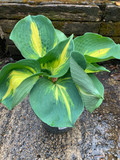 Hosta 'Dream Queen' - 3ltr