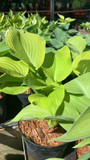 Hosta 'Golden Waffles' -3ltr