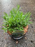 Lavender 'Hidcote' 3ltr pot