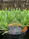 Lavender angustifolia 'Vera' 3ltr pot