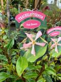 Trachelospermum 'Pink Showers'- 4ltr pot