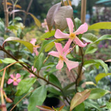 Trachelospermum 'Pink Showers'- 4ltr pot