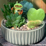 African Succulent Collection is Ceramic Pot