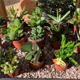 Crassula Succulents (3 plants)