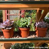 Indoor Succulents (3 plants)