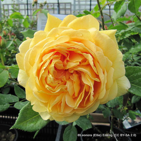Golden Celebration - David Austin English shrub rose